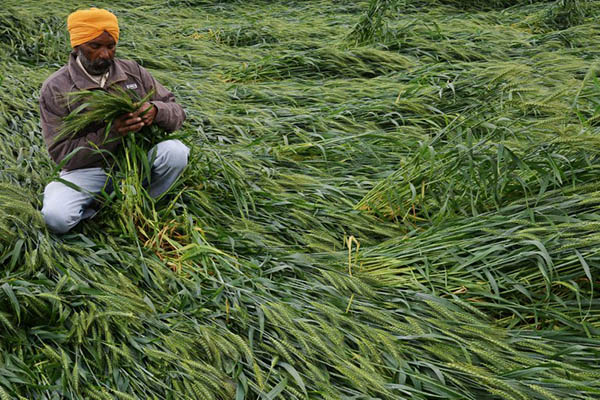 Crops damaged by heavy rains in India. Narinder Nanu—AFP